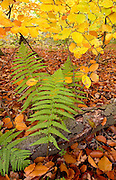 Beech leaves and ferns in woodland during autumn in Oxfordshire, England