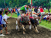 30 JULY 2017 - TUWED, JEMBRANA, BALI, INDONESIA: Children reach out to whip a a team of racing water buffalo at the finish line of a makepung (buffalo race) in Tuwed, Jembrana in southwest Bali. Makepung is buffalo racing in the district of Jembrana, on the west end of Bali. The Makepung season starts in July and ends in November. A man sitting in a small cart drives a pair of buffalo bulls around a track cut through rice fields in the district. It's a popular local past time that draws spectators from across western Bali.    PHOTO BY JACK KURTZ