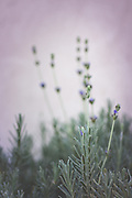 A bunch of wild grown lavender in Sicily. Photographed on the grounds of a beautiful olive estate in Palma di Montechiaro. A beautiful addition to any room in your home. A purple overall hue accentuates the small purple flowers.