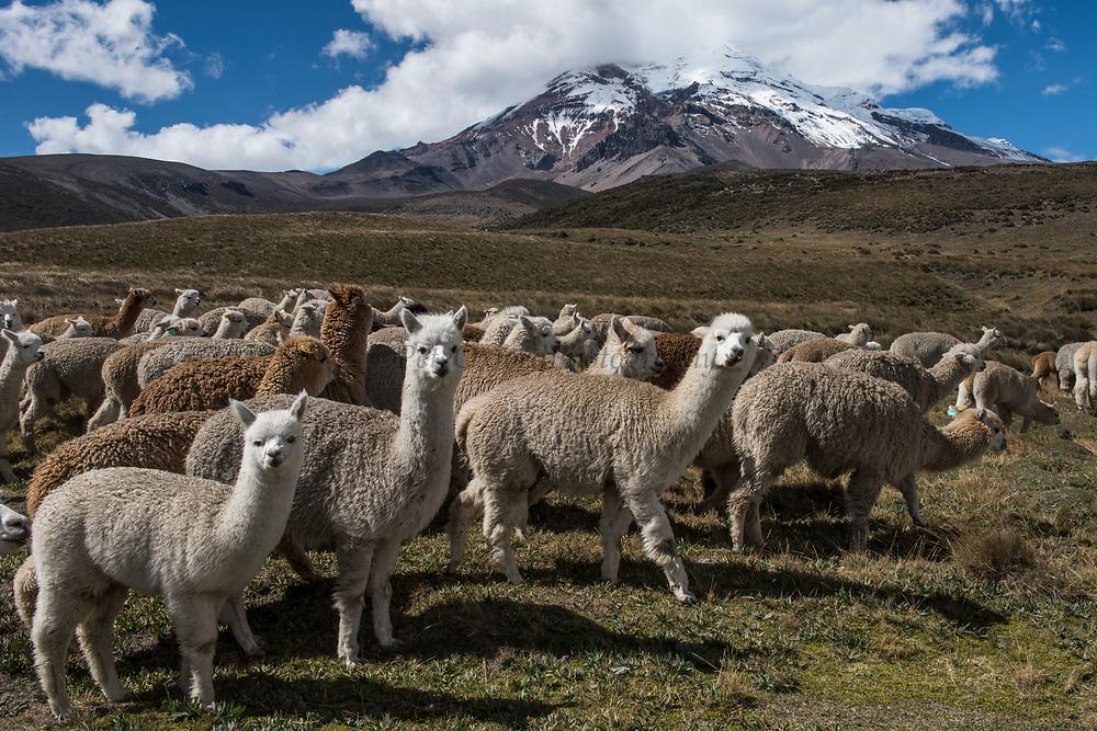 Chimborazo Volcano (Highest mountain in Ecuador) & Alpacas (Vicugna pacos)<br /> Andes<br /> ECUADOR, South America