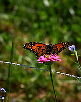 Monarch Butterfly Feeding on a Pink Zinnia Flower. Image taken with a Fuji X-H1 camera and 80 mm f/2.8 OIS macro lens (ISO 200, 80 mm, f/5.6, 1/1250 sec).