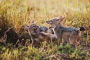 Black-backed jackal pups( Canis mesomelas ) playing around the den site, Masai Mara, Kenya
