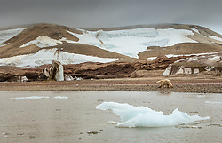Polar bear (Ursus maritimus) in front of retreating glacier in Svalbard, Norway