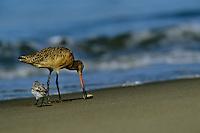Marbled godwit (Limosa fedoa) feeding in the surf zone.  Moss Landing, California.  Oct 2002.