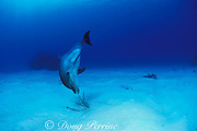Spot, a wild, lone, sociable bottlenose dolphin, Tursiops truncatus, plays with a gorgonian coral, Cayman Islands ( Caribbean Sea )