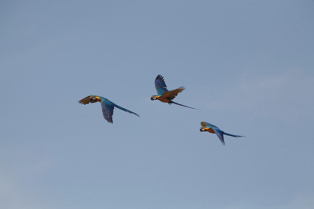 Joao Pinheiro_MG, Brasil...Grupo de araras de barriga amarela ou arara caninde, (Ara ararauna) voando em Joao Pinheiro, Minas Gerais...A Blue and Yellow Macaw group (Ara ararauna) is flying in Joao Pinheiro, Minas Gerais...Foto: LEO DRUMOND / NITRO