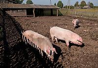 Zdjecie ilustracyjne N/z swinie w zagrodzie fot Michal Kosc / AGENCJA WSCHOD
