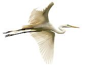 A Great Egret flying.