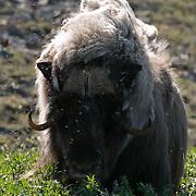 Muskox on Victoria Island, Nunavut, Canada