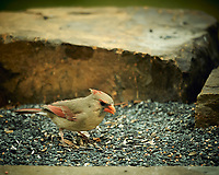 Female Northern Cardinal. Image taken with a Nikon D4 camera and 600 mm f/4 VR lens (ISO 400, 600 mm, f/4, 1/400 sec).