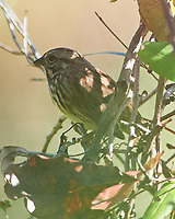 Song Sparrow (Melospiza melodia). Sourland Mountain Preserve. Image taken with a Nikon D4 camera and 600 mm f/2.8 lens.