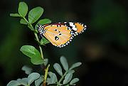 Danaus chrysippus, Butterfly, Israel October 2006