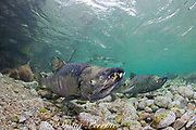 chum salmon, dog salmon, silverbrite salmon, or keta salmon, Oncorhynchus keta, in spawning stream, female in center, males on left and right (with gnarly teeth ), female between males; Sheep Bay, Alaska, USA ( Prince William Sound )