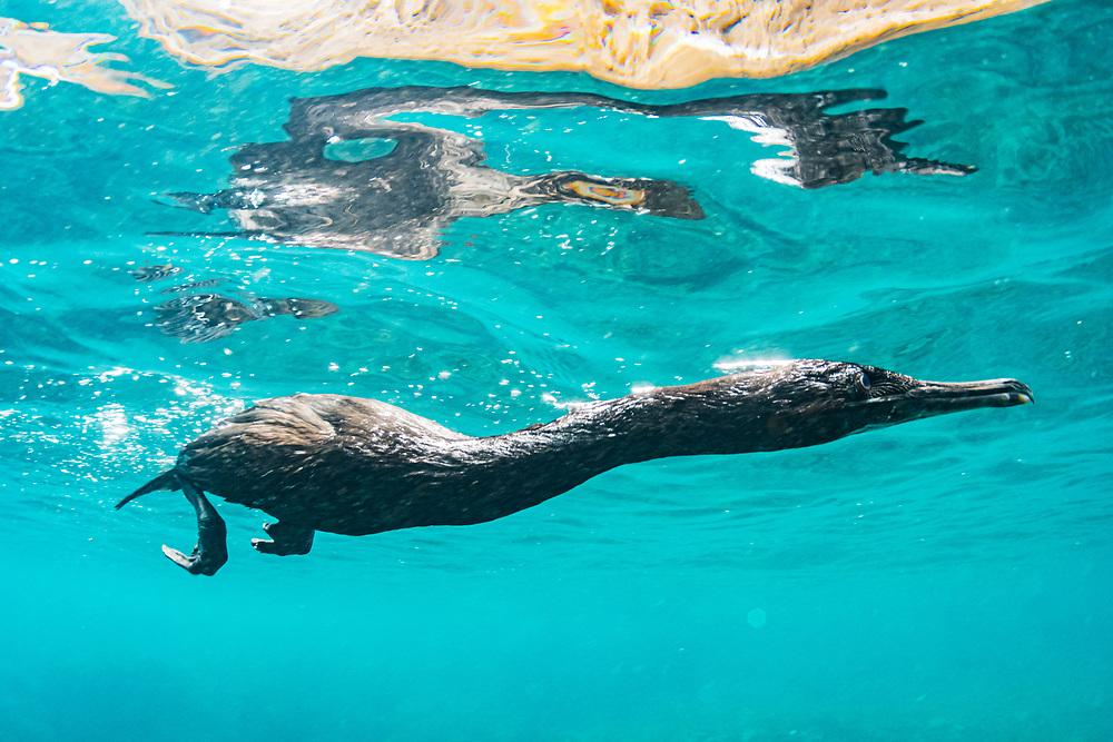 Flightless cormorant (Phalacrocorax harrisi) swimming underwater off Isabela Island, Galapagos, Ecuador.