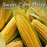 Sweet  Corn Maize   Maize Pictures Photos Images & Fotos