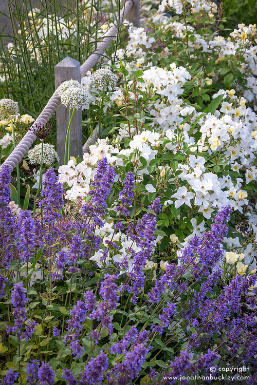 Rosa 'Kew Gardens' and catmint - nepeta