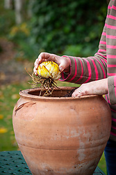 Planting lily bulbs in a terracotta container
