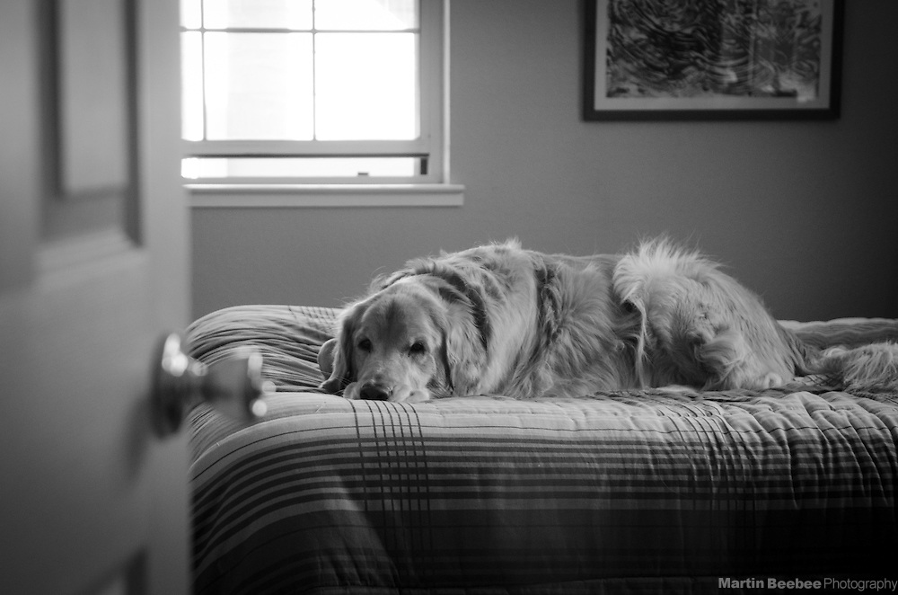 A dog (golden retriever) lying on a bed in late afternoon