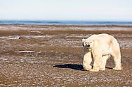 Polar bear (Ursus maritimus) walking on spit on Barter Island near Kaktovik in Arctic National Wildlife Refuge in the Far North of Alaska. Autumn. Morning.