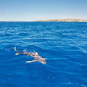 Oceanic whitetip shark (Carcharhinus longimanus) swimming on the surface off Cat Island, Bahamas.