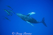 Hawaiian spinner dolphins or Gray's spinner dolphin, Stenella longirostris longirostris, bow-riding on humpback whale, Megaptera novaeangliae,  Kona, Hawaii, USA ( Central Pacific Ocean )