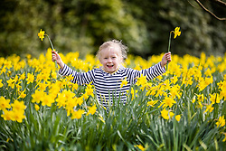© Licensed to London News Pictures. 24/03/2021. Leeds UK. 5 year old Scarlet plays in the daffodils at Temple Newsam park in Leeds this morning on another sunny day in the county. Photo credit: Andrew McCaren/LNP