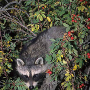 Raccoon, (Procyon lotor) Baby coon and rosehip plant. Fall.  Captive Animal.