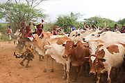 Africa, Ethiopia, Omo River Valley Hamer Tribe The Jumping of the Bulls ceremony. The initiate leaps onto a line of ten or more of his family's bulls and runs along their backs. women lining up the livestock