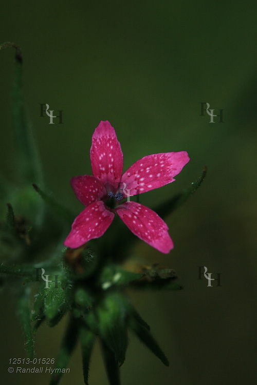 Deptford pink (Dianthus armeria) wildflower at Bethany Farm near Berger, Missouri.