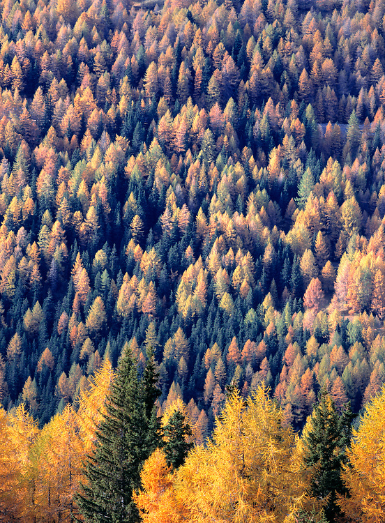 Larch, or tamarack, seen here on the Grossglockner Pass in Austria, shed their needles in the autumn, unlike most conifers. ©Ric Ergenbright