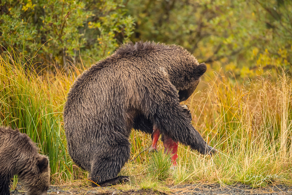 Grizzly bear (Ursus arctos)- Mother bear managing two spawning sockeye salmon caught in the Chilko River, Chilcotin Wilderness, BC Interior, Canada, Chilcotin Wilderness, BC Interior, Canada