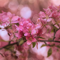 """""""Dance of the Fairies 2""""<br /> <br /> Delightful and enchanting pink blossoms with spheres of sunlight dancing magically around!"""