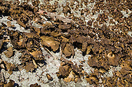 Cornwall, New York - Rock tripe lichen grows on rocks on  Schunnemunk Mountain on Jan. 1, 2015. Rock tripe is allegedly edible after being cooked.