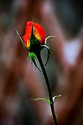perfect orange Garden Rose bud