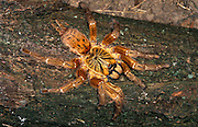 Togo or Starburst Baboon Spider, Hetroscodra maculata, Tarantula, West Africa, captive, Red Form/Orange
