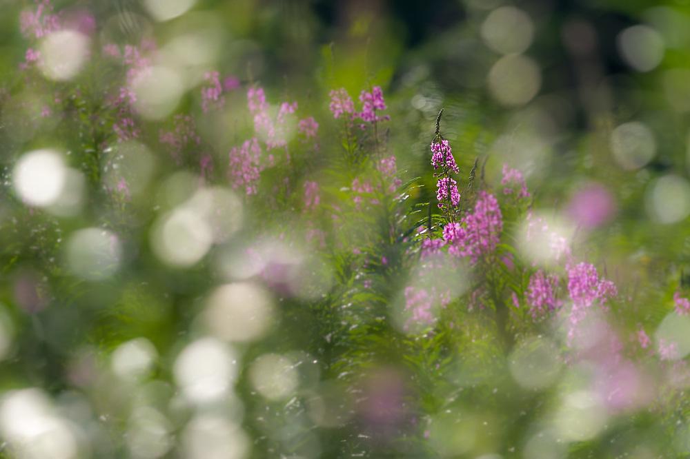 Abstract design, fireweed wildflowers (Epilobium angustifolium), afternoon light, July, Alpine Lakes Wilderness, Washington, USA