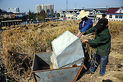 SHAOXING, CHINA - NOVEMBER 18:  china out - finland out<br /> <br /> <br /> Rice Harvest On Rooftop In Zhejiang<br /> Farmers harvest rice on a 120-square-meter roof on November 18, 2013 in Shaoxing, Zhejiang Province of China. Farmer Peng Qiugen turned the roof of his house into a garden a couple of years ago. <br /> ©Exclusivepix