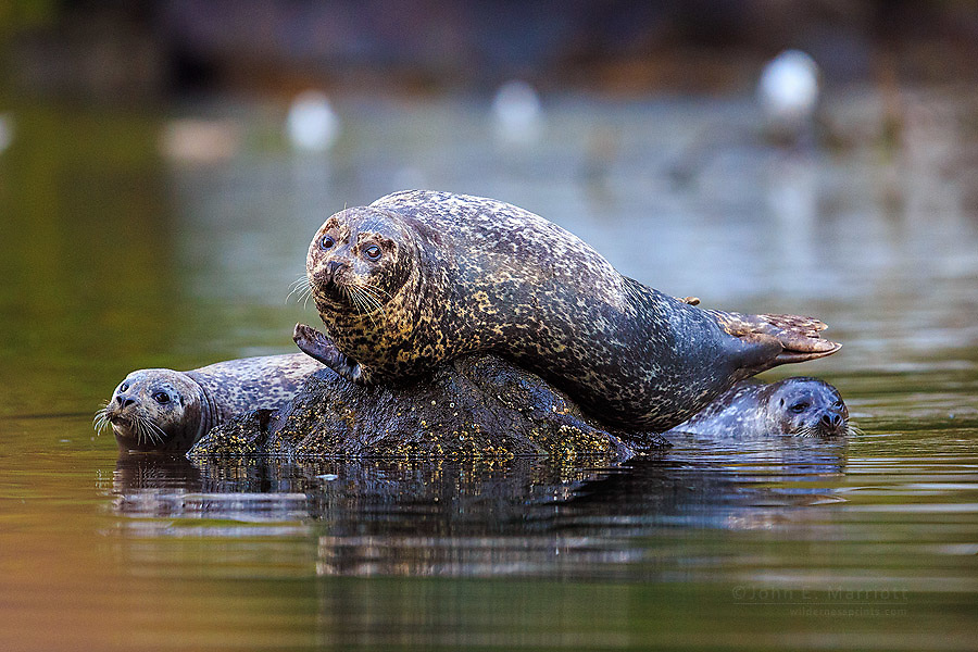 Harbour seal, Great Bear Rainforest