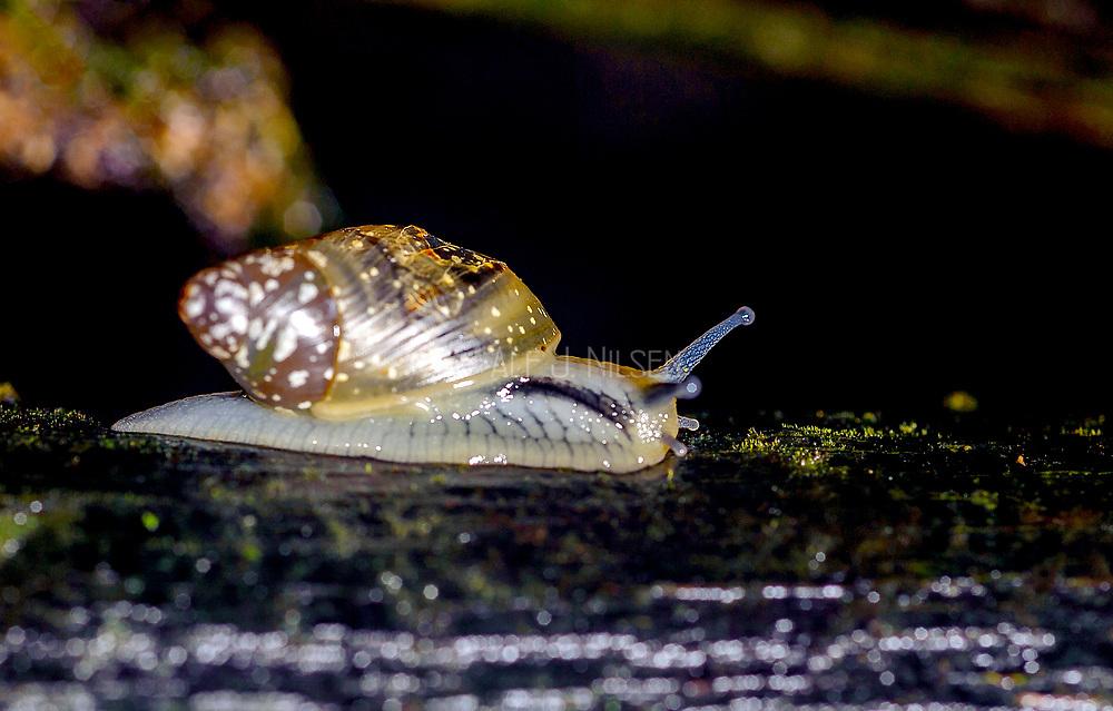 Unidentified terrestrial gastropod from the rainforest of LaSelva, Ecuador.