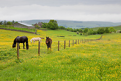 Horses in a field of buttercups in Yorkshire. Ranunculus acris