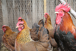 Cockerel and hens