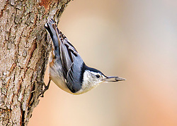A Nuthatch perched on the side of a tree, ready to take of with a sunflower seen in his beak