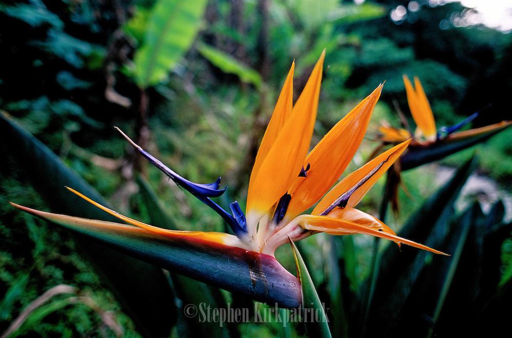 Bird-of-Paradise (Strelitzia reginae) - Oahu