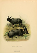 The tamaraw or Mindoro dwarf buffalo (Bubalus mindorensis) [Here as Tamarau, or Mindoro Buffalo - Bos mindorensis] is a small hoofed mammal belonging to the family Bovidae. and lowland anoa (Bubalus depressicornis). [Here as Bos depressicornis]. colour illustration From the book ' Wild oxen, sheep & goats of all lands, living and extinct ' by Richard Lydekker (1849-1915) Published in 1898 by Rowland Ward, London