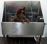 Pedigree Female Brown miniature poodle in the bath