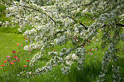 Malus transitoria AGM, Crab Apple, with Anemone pavonina naturlised in grass in John Massey's garden at Ashwood Nurseries