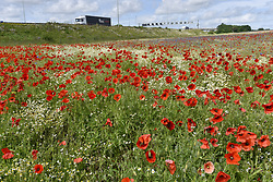 June 11, 2017 - London, HERTFORDSHIRE, UK - London Colney, UK. Poppies and other wildflowers are in bloom in a field in London Colney, near St Albans.  Lying near the busy M25 motorway that encircles the capital, the flowers are putting on a spectacular show as the traffic passes by. (Credit Image: © Stephen Chung/London News Pictures via ZUMA Wire)