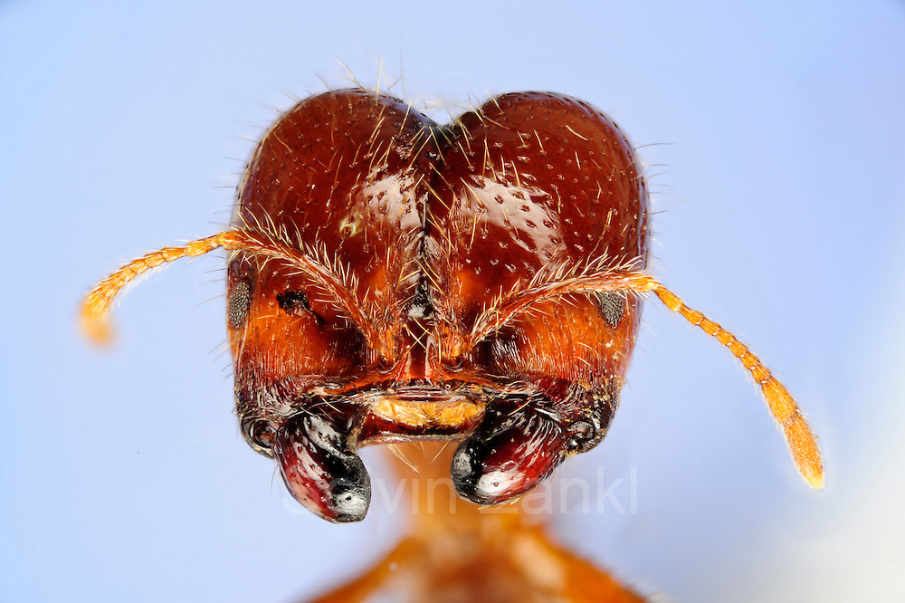 """[Digital focus stacking] Solenopsis geminata is one of several species that are known as ?fire ants?. The original distribution of these species is the (sub)tropical part of the New World but with the help of humans they have been introduced to almost all tropical regions of the world. .Solenopsis geminata feeds on almost anything. Their diet includes seeds which they gather and store in their nests. Workers of Solenopsis geminata are of various sizes ranging from 3-5 mm. The picture shows the head of a major worker with its massive mandibles. These mandibles are used to open seeds..Fire ants are famous for their potent sting. The sting can produce an immediate, intense pain followed by red swelling. In Brazil fire ants are locally known as ?Formiga-lava-pé? which roughly translates into ?Wash-your-feet-ant?. The description is spot on. You will understand if you find yourself standing on or near a nest of these ants.  Picture was taken in cooperation with the """"Staatl. Museum für Naturkunde Karlsruhe""""."""