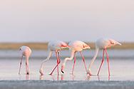 Rosaflamingos (Phoenicopterus ruber) und Zwergflamingos (Phoeniconaias minor) bei der Sowa Pfanne in Botswana. Flamingoes at Sowa pan in Botswana.