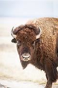 Portrait of a Bison, Antelope Island State Park, Great Salt Lake, Utah, United States of America
